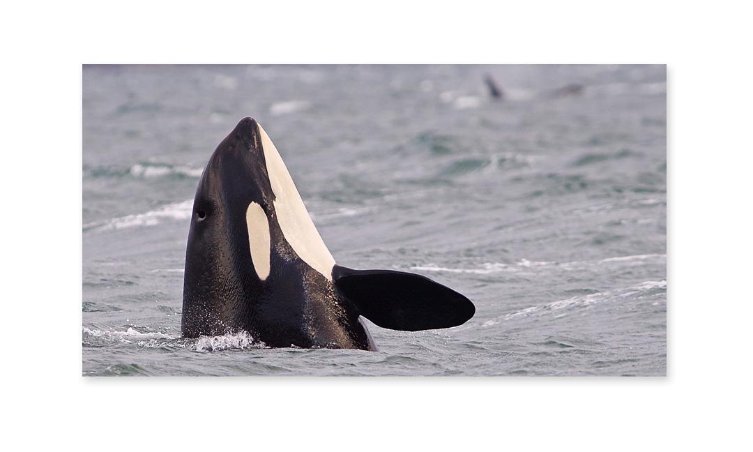 Orca | J14 Samish